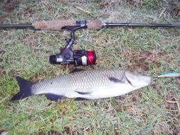 pesce cavedano