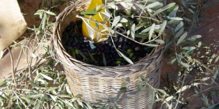 Olio Dop Garda: E' iniziata la campagna di raccolta 2011
