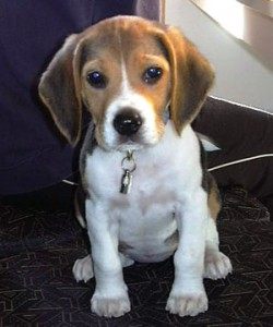 beagle6
