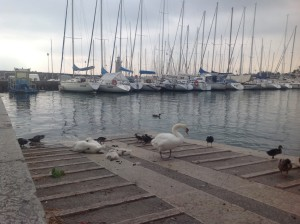 cigni e porto e lago
