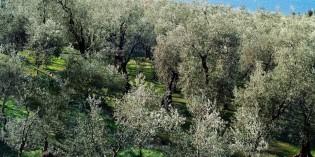 Consorzio Olio Garda Dop: Campagna olivicola 2013/2014