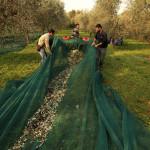 Lago di Garda:  il 13 febbraio 2015 UN CONVEGNO PER DIFENDERSI dalla LEBBRA DELL'OLIVO E MOSCA OLEARIA