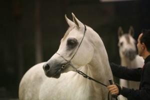 fieracavalli-cavallo-arabo-grigio-eleganza-ennevi_thumb_660_f9e92f23d5c78