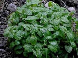 piante_aromatiche_officinali