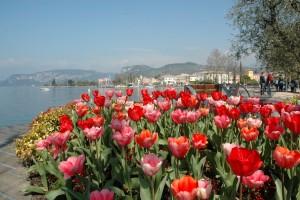 Bardolino (Vr). Tulipani 1