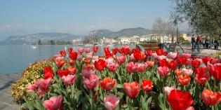BARDOLINO (VR): tulipani in fiore