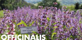 Salvia officinalis: a cura di Laura Ederle