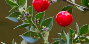 Erbe Aromatiche: IL PUNGITOPO a cura di Laura Ederle