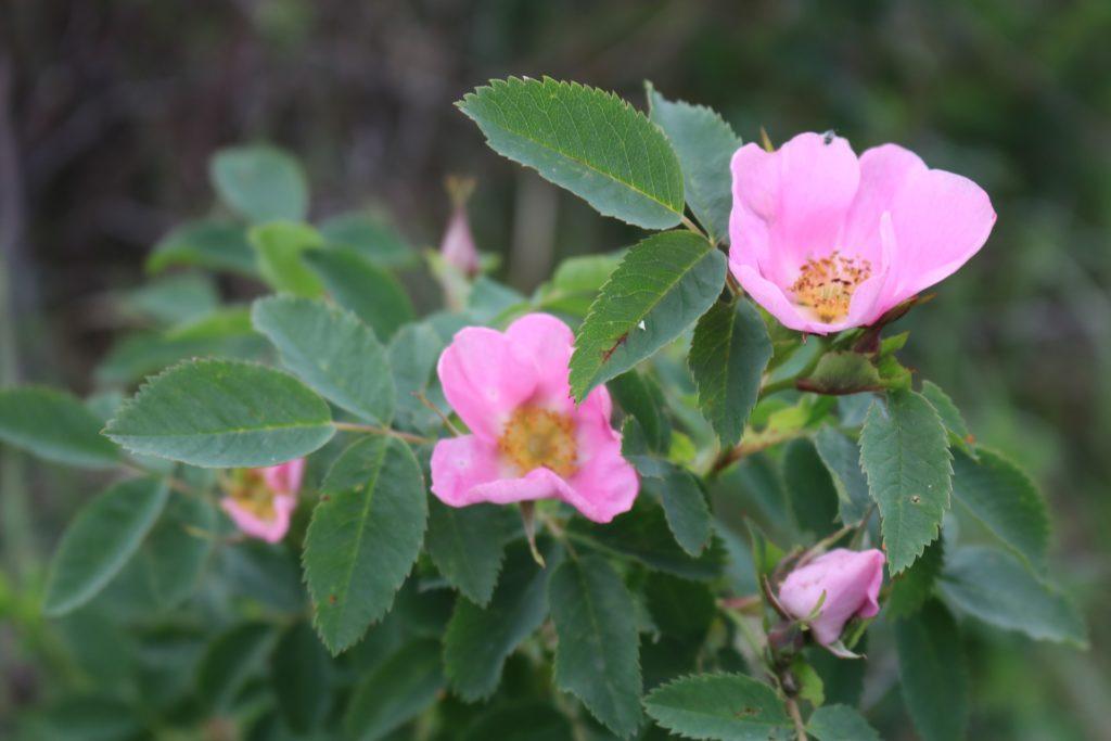 rosa canina fiori