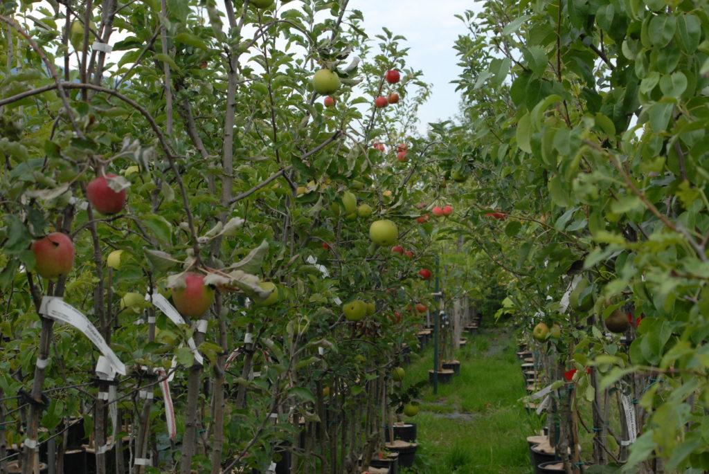 frutti antichi vivai Omezzolli