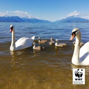 Lago di garda inquinato con cigni WWF