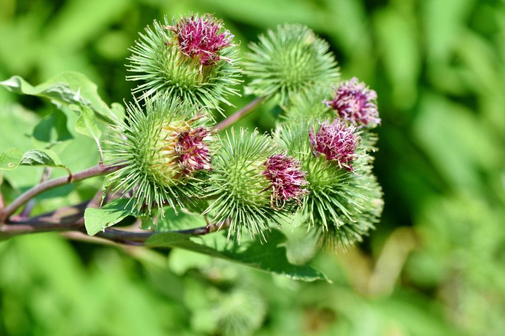 bardana fiori 2