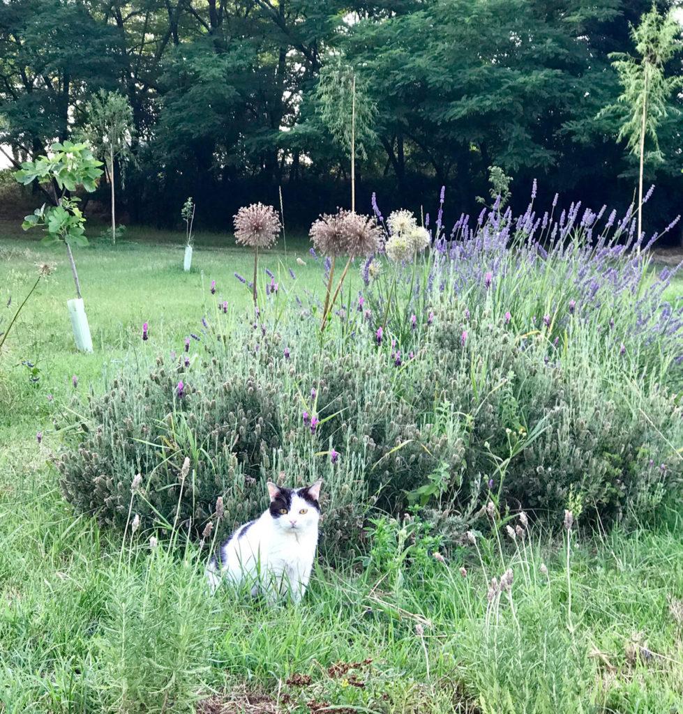 gatto con lavanda Officina delle Erbe del Garda